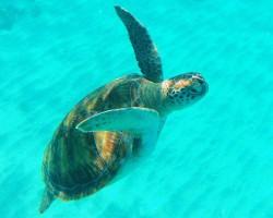 Ausflugsvideo: Schwimmen mit Meeresschildkröten auf Barbados